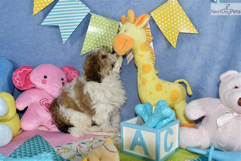 cavachon puppies for sale in va cavachon puppy for sale near washington dc 00b565fb b0b1