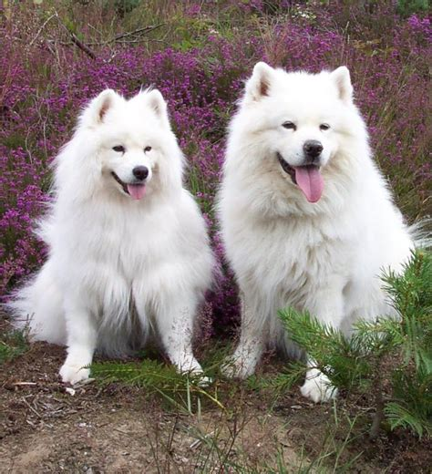 samoyed dogs samoyed