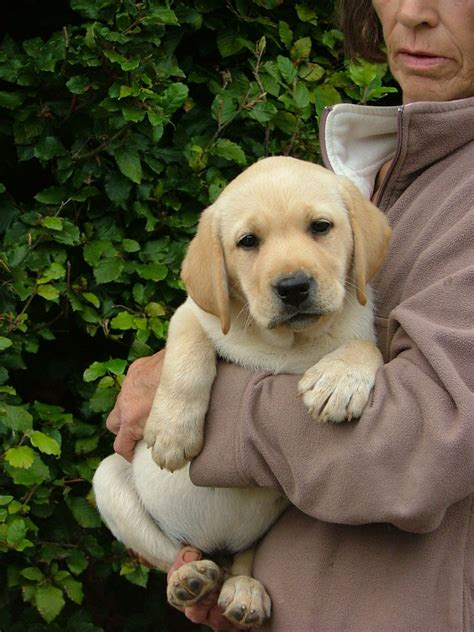 yellow labrador puppies for sale fabulous yellow labrador puppies for sale kidderminster worcestershire pets4homes