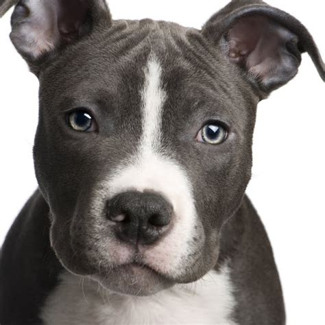 pit bull terrier puppy dogs and cats breed pit bull terrier dogs and cats