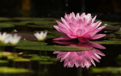 fiore di loto simbolo significato loto significato dei fiori conoscere il