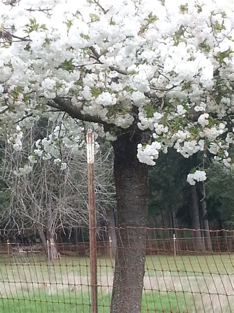 cherry tree quiz what type of japanese cherry tree is this ask an expert