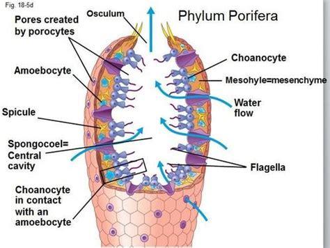 sponge diagram porifera the muscular system evolution and development