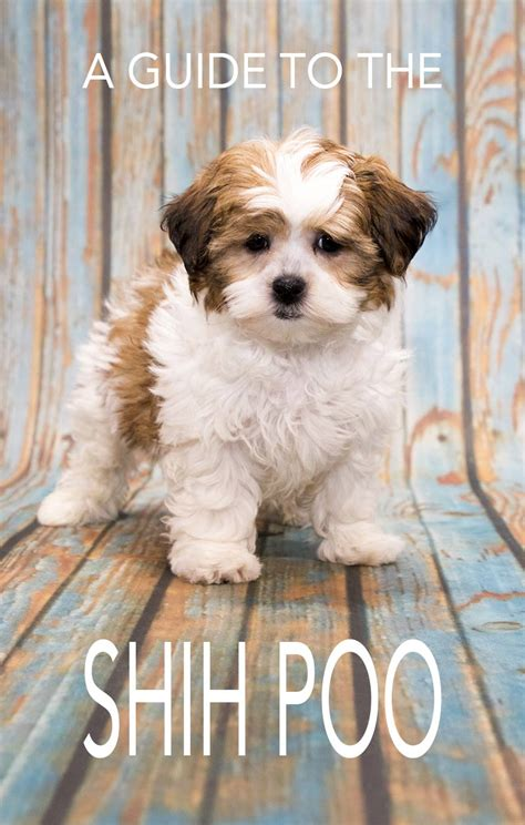 fun shih tzu haircuts poodle forum standard toy shih tzu poodle mix haircuts shih poo your guide to the