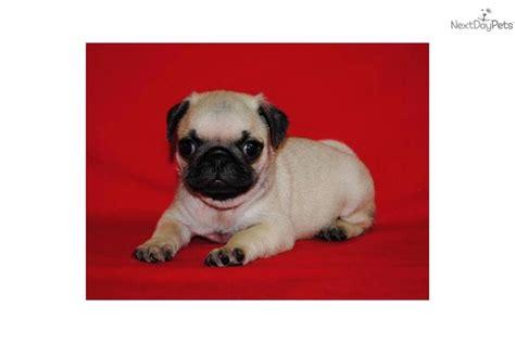 sassy pug lol pug pug in disguise black pug sassy pug images frompo