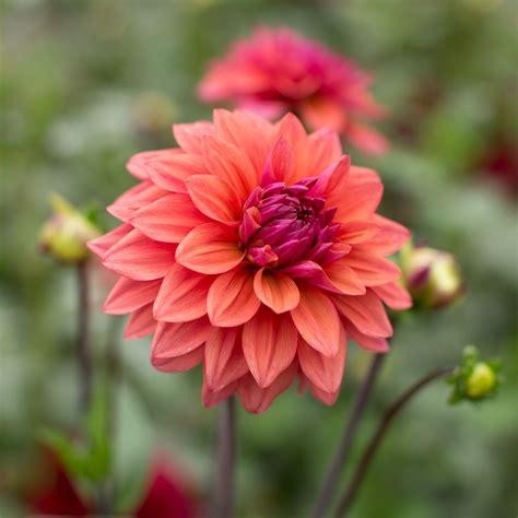 dahlia american dawn floret flowers