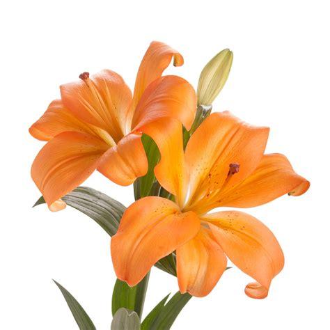 orange la hybrid lily 30 bloom bouquet lilies types of