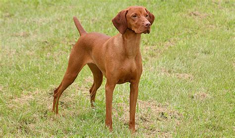 vizla puppies vizsla breed information