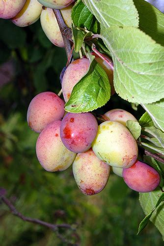 top 28 where did plums originate where do fruit flies come from where do plums come from