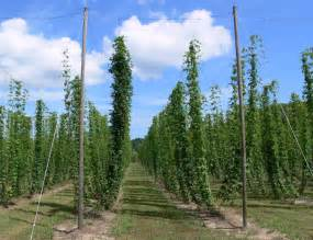 Hops Vine Trellis Hops On Trellis With V Style Stringing To Increase Plant
