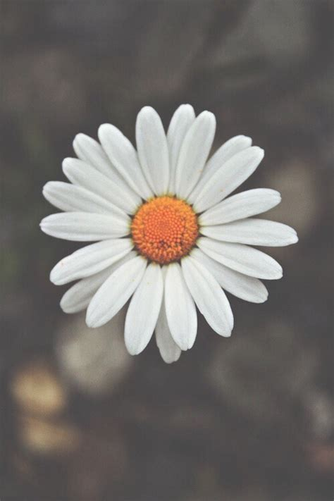daisy wallpaper pinterest daisy iphone desktop backgrounds hd 10041 hd wallpapers site