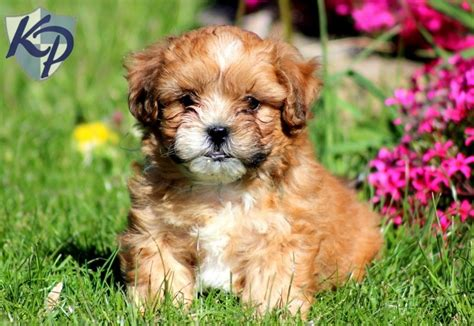 buy puppies houston 106 best king charles spaniel cavapoo and shihpoo images on cat