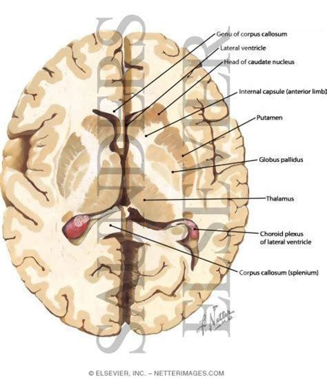 axial section of brain basal ganglia axial view lecture 8 pinterest search
