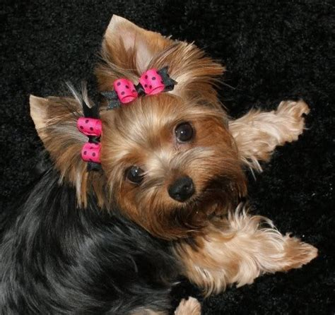 bows for yorkies hair yorkie bows hair bows bows for yorkies and accessories breeds picture