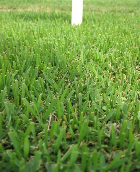South Grass by Zoysia Grass Seed Zoysia Grass Plugs