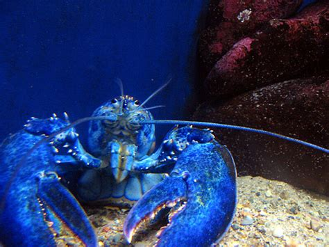 what color is lobster blood blue lobster for our friends