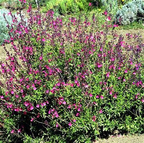 Fragrant Garden Plants - salvia greggii wild thing autumn sage