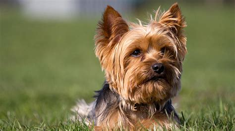 most popular dogs in america the most popular breeds in america abc7