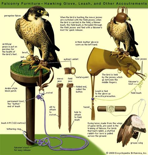 113 best falconry images on pinterest birds of prey