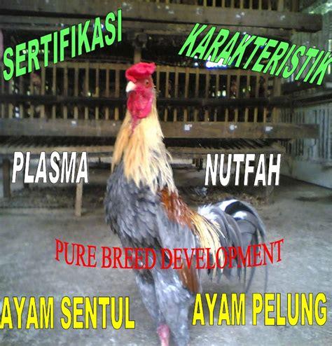 Bibit Ayam Sentul eb pip