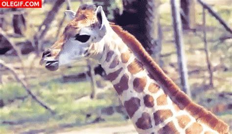 imagenes de jirafas sacando la lengua gif esta jirafa no para de sacar la lengua gif 5754