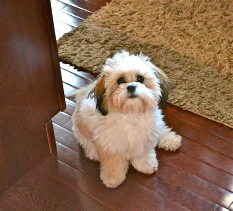 shichon difficult image gallery shichon haircuts