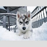 Cute Husky In Snow | 500 x 362 jpeg 27kB