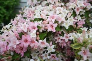 flowering garden shrubs flowering shrubs donna s garden