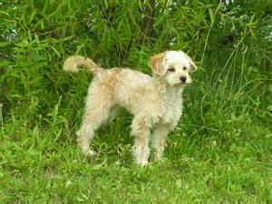 Goldendoodle puppies rescue pictures information temperament