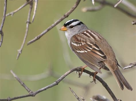 file white crowned sparrow jpg wikimedia commons