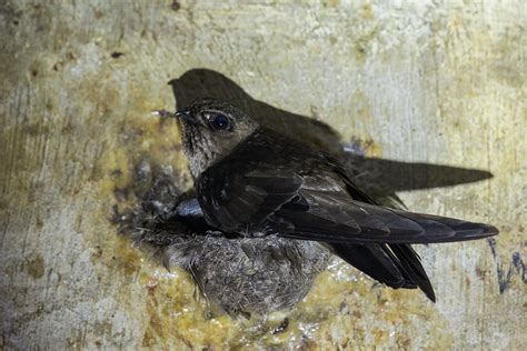 Project Mocassin Eos Kulit Hitam black nest swiftlet singapore birds project
