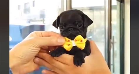 pug in a bow tie tiny pug in a bow tie is the stuff your most adorable dreams are made of pet