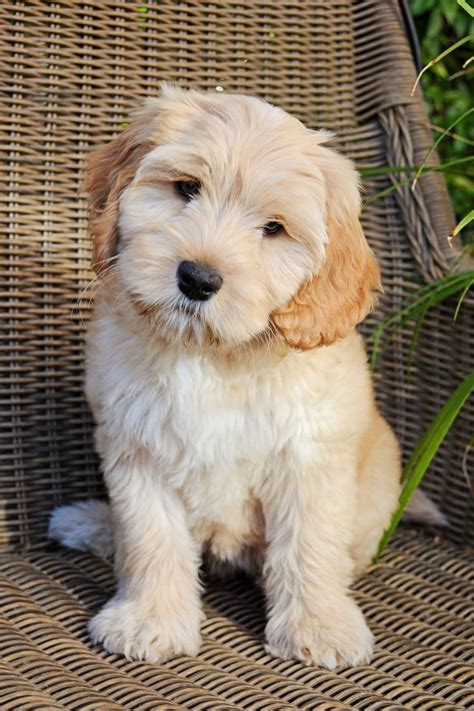 australian labradoodle puppies 25 best ideas about australian labradoodle on cocker spaniel poodle