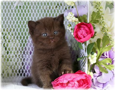 shorthair kittens for sale chocolate kittens chocolate persians chocolate