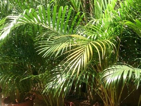 Le Palmier le palmier d arec une plante d int 233 rieur facile 224 entretenir