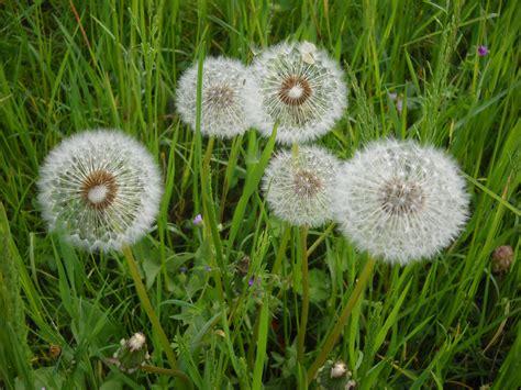 fiori dente di tarassaco o dente di pane tulipani