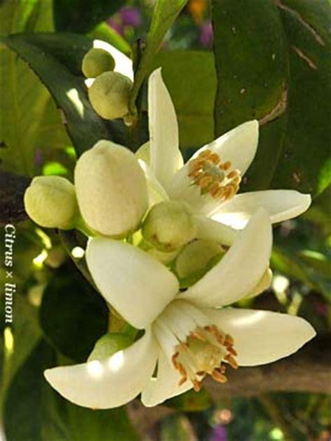 fiori limone fiori di limone fiori e fogliefiori e foglie