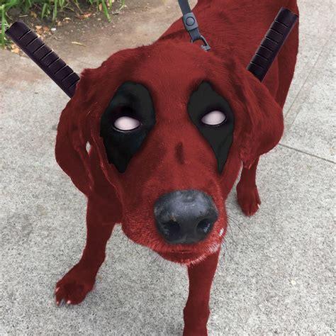 vitiligo hastaligi bulunan siyah renkli labrador icin