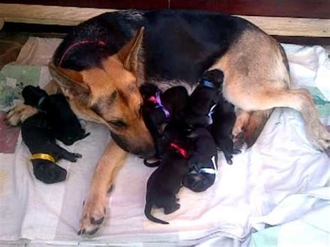 newborn german shepherd puppies newborn german shepherd puppies