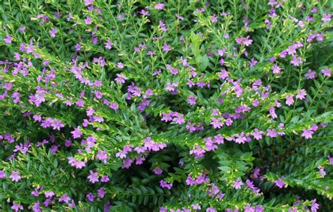 tanaman bunga taiwan ungu types of ground cover home garden ideas plant house