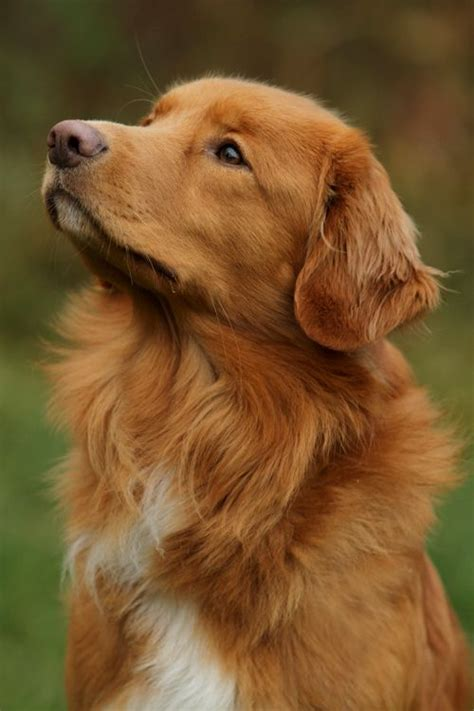 how to a golden retriever to hunt best 25 toller ideas on scotia duck