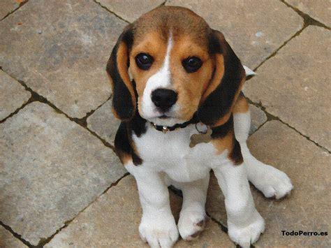 imagenes animales pequeños gallery for gt nombres de razas de perros peque 195 177 os y fotos