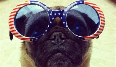 ticklish pug 7 pugs who are going to seriously the worst 4th of july
