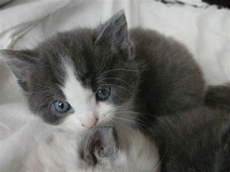 russian for sale russian blue x ragdoll kittens for sale nuneaton warwickshire pets4homes