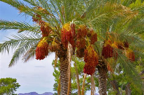 what fruit comes from a palm tree palm date palm tree dactylifera edible fruit