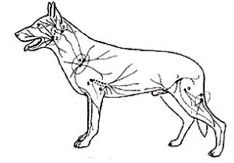 wo liegen die lymphknoten wo genau liegen beim hund die lymphknoten gesundheit