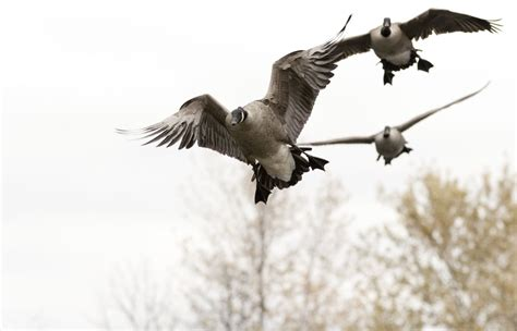 duck hunting boat canada goose hunting waterfowl hunting fishing guides photos
