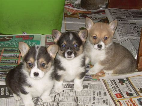 images of corgi puppies cardigan corgi puppies photos puppies pictures puppy photos