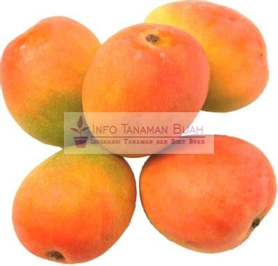 Bibit Buah Mangga Gedong Gincu tanaman mangga gedong gincu info tanaman buah