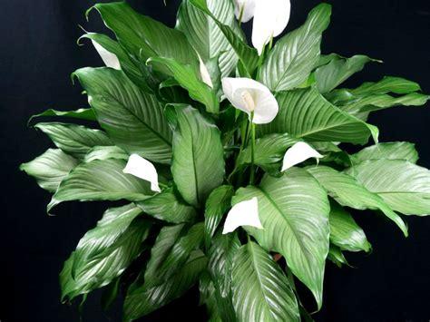 grow  care  peace lilies spathiphyllum